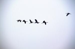 birdsformationleader_0